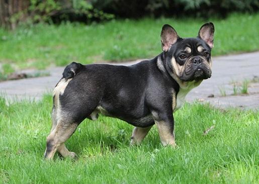 Black and Tan French Bulldog